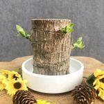 BESTLUCK™ Lucky Brazilian Wood Plant【BUY 2 FREE SHIPPING】