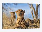 Cheetah - Close Up And Personal