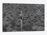 Saguaro and Opuntia cacti, Harquahala Mountains, Arizona