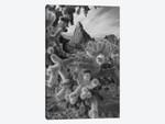 Teddy Bear Cholla cacti (Cylindropuntia bigelovii), Crater Range, Arizona