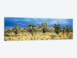 Joshua trees in the Mojave National Preserve, Mojave Desert, San Bernardino County, California, USA