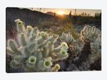 USA, Arizona. Teddy Bear Cholla cactus glowing in the rays of the setting sun, Organ Pipe Cactus National Monument.