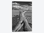 Usa, Eastern Sierra, White Mountains, Bristlecone Pines