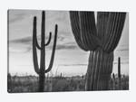 Saguaro cacti, Tucson Mountains, Arizona