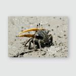 Fiddler Crab Crawl Walking On Muddy Poster, Sticker, Ornament