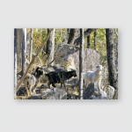 Feral Goats Rocky Eucalypt Woodland Beside Poster, Sticker, Ornament