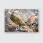 Fish Tilapia Carp Cat Swimming Waiting Poster, Sticker, Ornament