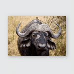 Buffalo Standing Staring While Grazing On Poster, Pillow Case, Tumbler, Sticker, Ornament