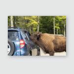 Buffalos Parc Omega Canada Poster, Pillow Case, Tumbler, Sticker, Ornament