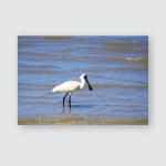 Eurasian Spoonbill Fishing Lake Jeddah Saudi Poster, Pillow Case, Tumbler, Sticker, Ornament