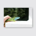 European Green Lizard Lacerta Viridis Human Poster, Pillow Case, Tumbler, Sticker, Ornament