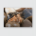 Caribbean Hermit Crab On Wet Stoneshermit Poster, Pillow Case, Tumbler, Sticker, Ornament