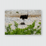 Ostrich Etosha Natiuonal Park Namibia Poster, Pillow Case, Tumbler, Sticker, Ornament