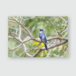 Indian Cuckoo Cuculus Micropterus Poster, Pillow Case, Tumbler, Sticker, Ornament