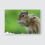Indian Squirrel Eating Food Poster, Pillow Case, Tumbler, Sticker, Ornament