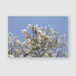 Wight Magnolia Flowers On Background Cler Poster, Pillow Case, Tumbler, Sticker, Ornament