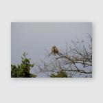 Wild Bird Black Kite On Tree Poster, Pillow Case, Tumbler, Sticker, Ornament