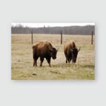 Wild Bison Herd Wandering Elk Island Poster, Pillow Case, Tumbler, Sticker, Ornament