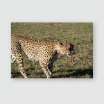 Wild Cheetah Walking Around Masai Mara Poster, Pillow Case, Tumbler, Sticker, Ornament