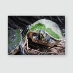 Painted Turtle Wildlife On Waters Edge Poster, Pillow Case, Tumbler, Sticker, Ornament