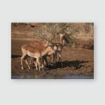 Skittish Impalas Water Hole Poster, Pillow Case, Tumbler, Sticker, Ornament