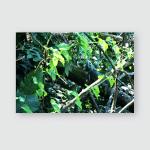 Sleeping Green Iguana Natural Habitat On Poster, Pillow Case, Tumbler, Sticker, Ornament