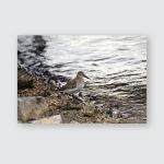 Dunlin Calidris Alpina Walks Along Waterfront Poster, Pillow Case, Tumbler, Sticker, Ornament