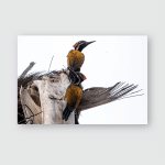 Pair Blackrumped Flameback Woodpecker Poster, Pillow Case, Tumbler, Sticker, Ornament