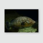 Dusky Grouper Yellowbelly Rock Cod Epinephelus Poster, Pillow Case, Tumbler, Sticker, Ornament