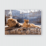 Pair Lions Captivity Zoo Behind Bars Poster, Pillow Case, Tumbler, Sticker, Ornament