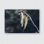 Branch Hanging Straw Beard Lichen Latin Poster, Pillow Case, Tumbler, Sticker, Ornament