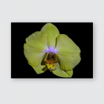 Isolated Pastel Yellow Orchid Blossommacro On Poster, Pillow Case, Tumbler, Sticker, Ornament
