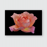 Isolated Orange Pink Yellow Rose Blossom Poster, Pillow Case, Tumbler, Sticker, Ornament