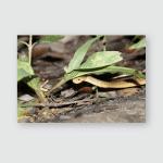 Pareas Carinatus Nature Poster, Pillow Case, Tumbler, Sticker, Ornament