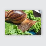 Snail Achatina Eating Lettuce Leaves On Poster, Pillow Case, Tumbler, Sticker, Ornament