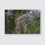 Wisteria Flowers Growing Rural North Mississippi Poster, Pillow Case, Tumbler, Sticker, Ornament