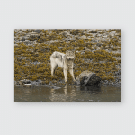 Wolf Feeding Russell Cut Low Tide Poster, Pillow Case, Tumbler, Sticker, Ornament
