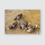 Brown Ducks Swim Near Lake On Poster, Pillow Case, Tumbler, Sticker, Ornament