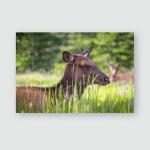Elk Caribou Female Jasper National Park Poster, Pillow Case, Tumbler, Sticker, Ornament