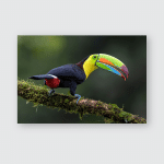 Keelbilled Toucan Ramphastos Sulfuratus Large Colorful Poster, Pillow Case, Tumbler, Sticker, Ornament