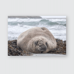 Southern Elephant Seal Adult Bull Rest Poster, Pillow Case, Tumbler, Sticker, Ornament