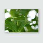 Peucetia Viridans Green Lynx Spider Poster, Pillow Case, Tumbler, Sticker, Ornament