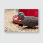 Spotted Dove Spilopelia Chinensis Eating Food Poster, Pillow Case, Tumbler, Sticker, Ornament