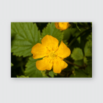 Yellow Washington State Wildflower Photographed Park Poster, Pillow Case, Tumbler, Sticker, Ornament
