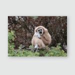 Yellowcheeked Gibbon Nomascus Gabriellae Female Poster, Pillow Case, Tumbler, Sticker, Ornament