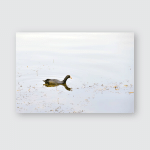 Young Black Mallard Duck Swimming Lakes Poster, Pillow Case, Tumbler, Sticker, Ornament
