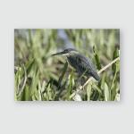 Striated Heron Butorides Striata Single Bird Poster, Pillow Case, Tumbler, Sticker, Ornament