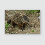 Young Groundhog Standing Still Looking Potential Poster, Pillow Case, Tumbler, Sticker, Ornament