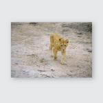 Young Lions Kruger National Park Mpumalanga Poster, Pillow Case, Tumbler, Sticker, Ornament