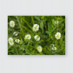 Summer Green Background White Clover Flowers Poster, Pillow Case, Tumbler, Sticker, Ornament